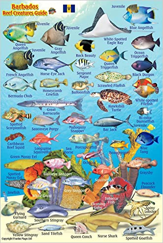 """Barbados Reef Creatures Guide Franko Maps Laminated Fish Card 4"""" x 6"""""""