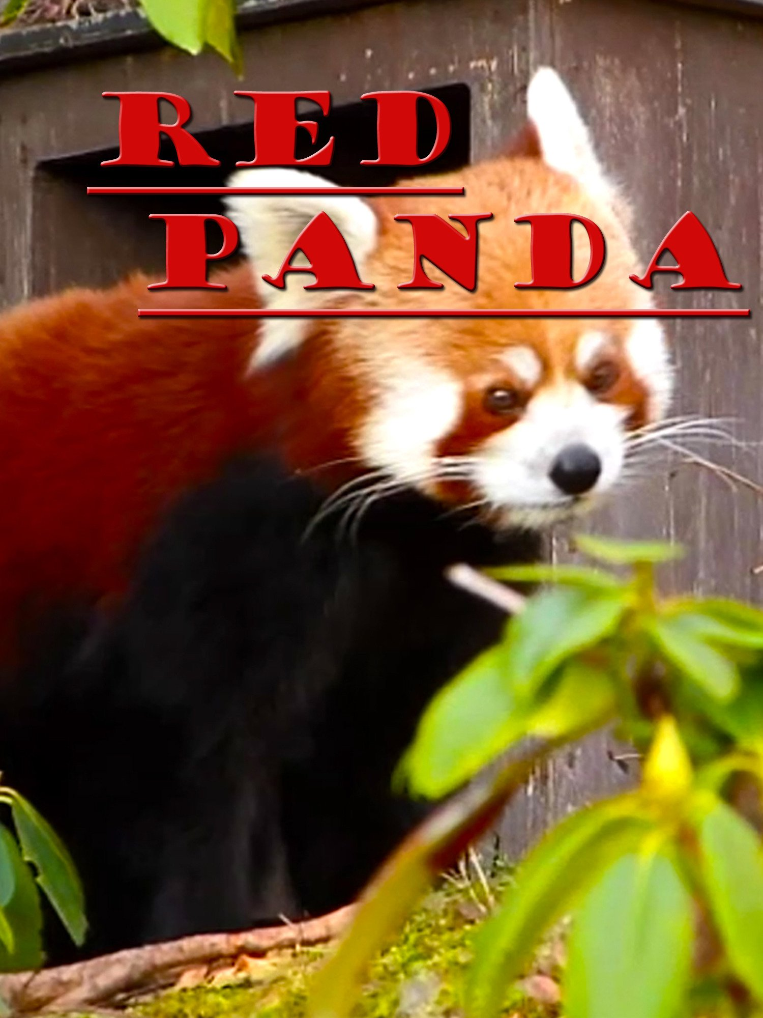 Clip: Red Panda on Amazon Prime Instant Video UK
