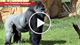 Gorillas Turn Body Odor On & Off To Communicate Or...