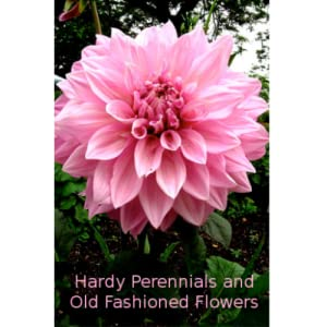 Hardy Perennials And Old Fashioned Garden Flowers