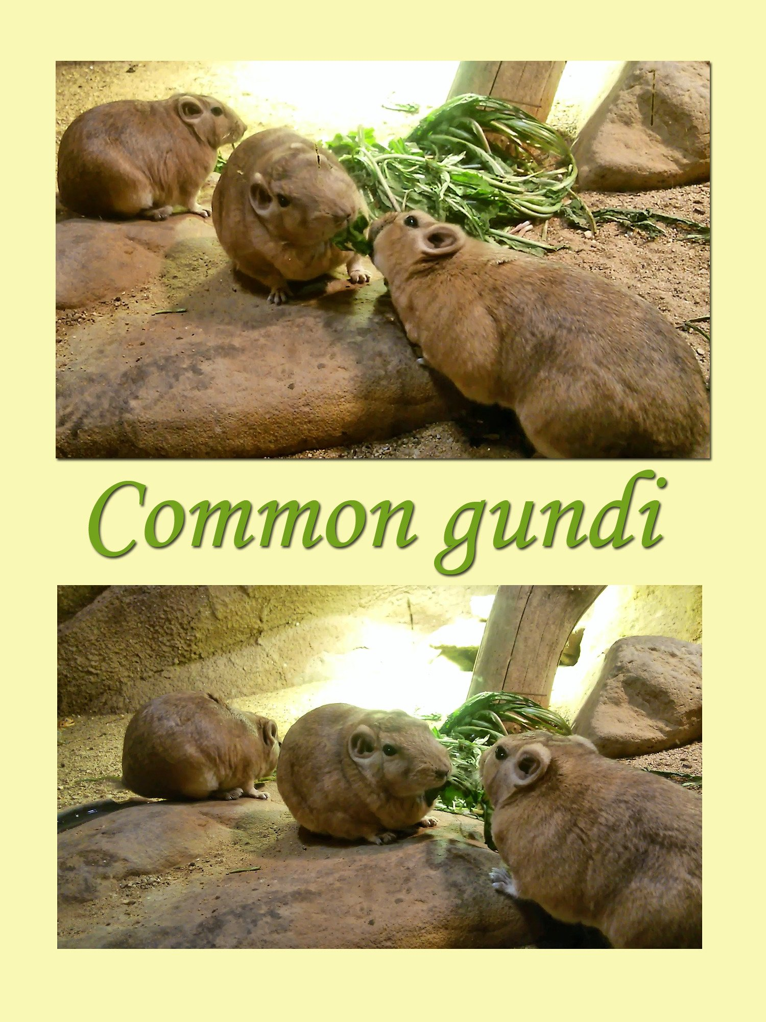 Clip: Common gundi