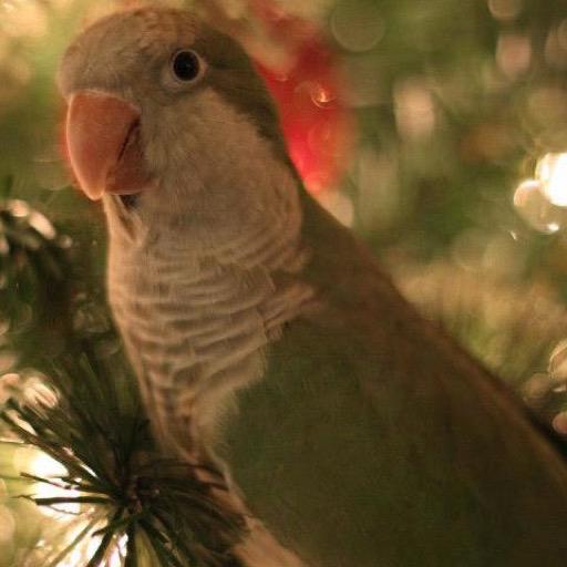 quaker-parrot-wallpaper-hd-wallpapers-of-quaker-parrots
