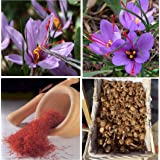 Saffron Bulbs Crocus Sativus Flowers Corms Original Turkey Bulbs Plant 25 Bulbs