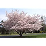 Yoshino Flowering Cherry Tree - Kanzan - Sekiyama Established Roots - Established Roots 2.5
