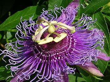 معرفی گیاه Passiflora  یا گل ساعنی