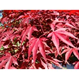 Red Japanese Maple, Acer Palmatum Atropurpureum, Tree Seeds (60 Seeds)