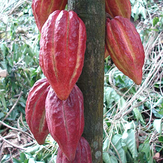 Seeds of the Cacao Tree