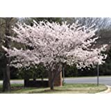 Yoshino Flowering Cherry Tree - Live Established Rooted 1 Plant in 1 Gallon Pot
