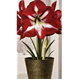 Amaryllis Grow Kit in a Beautiful Reusable Holiday Pot - Stargazer Amaryllis Beautiful Display and Gift - Just Add Water and Enjoy!