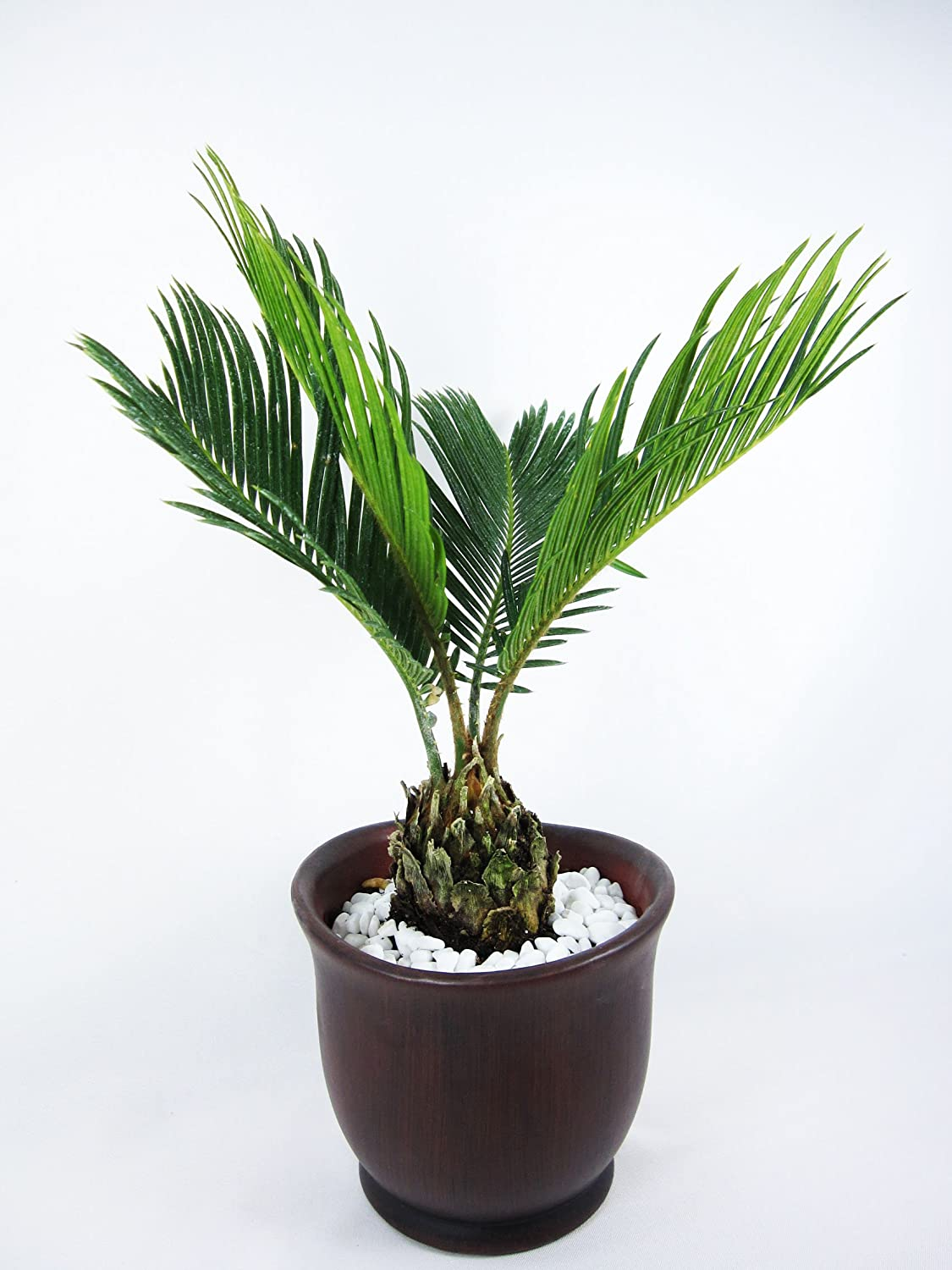 Palm Plants - Sago Palm