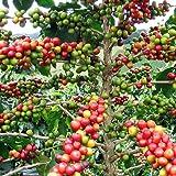 Hirt's Arabica Coffee Bean Plant - 3