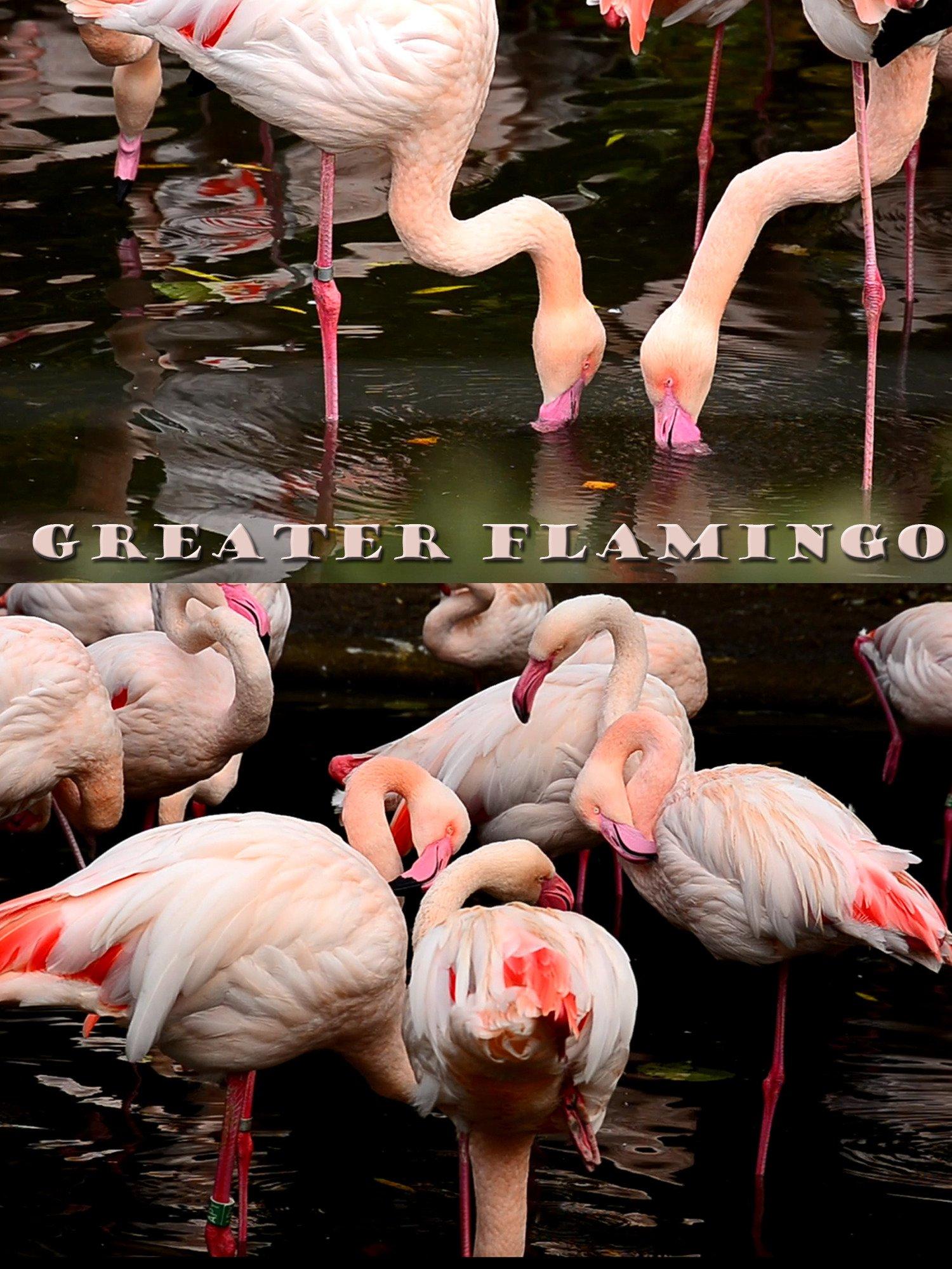 Greater flamingo on Amazon Prime Instant Video UK