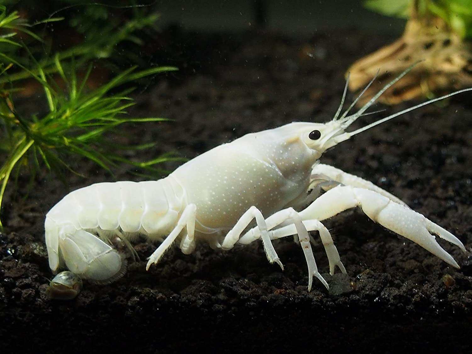 1 Live White Specter Crayfish/Freshwater Lobster (3″+ Young Adult!) – Stunning White Variant of the Electric Blue Crayfish by Aquatic Arts (formerly InvertObsession)