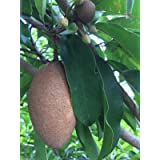 New and Healthy Sapodilla Manilkara Zapota Chiku Makok Tropical Tree Starter PLANT Seedling
