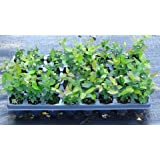 10 BLUEBERRY BUSH PLANTS MIXED VARIETIES SUITABLE FOR YOUR CLIMATE ZONE-STATE INSPECTED
