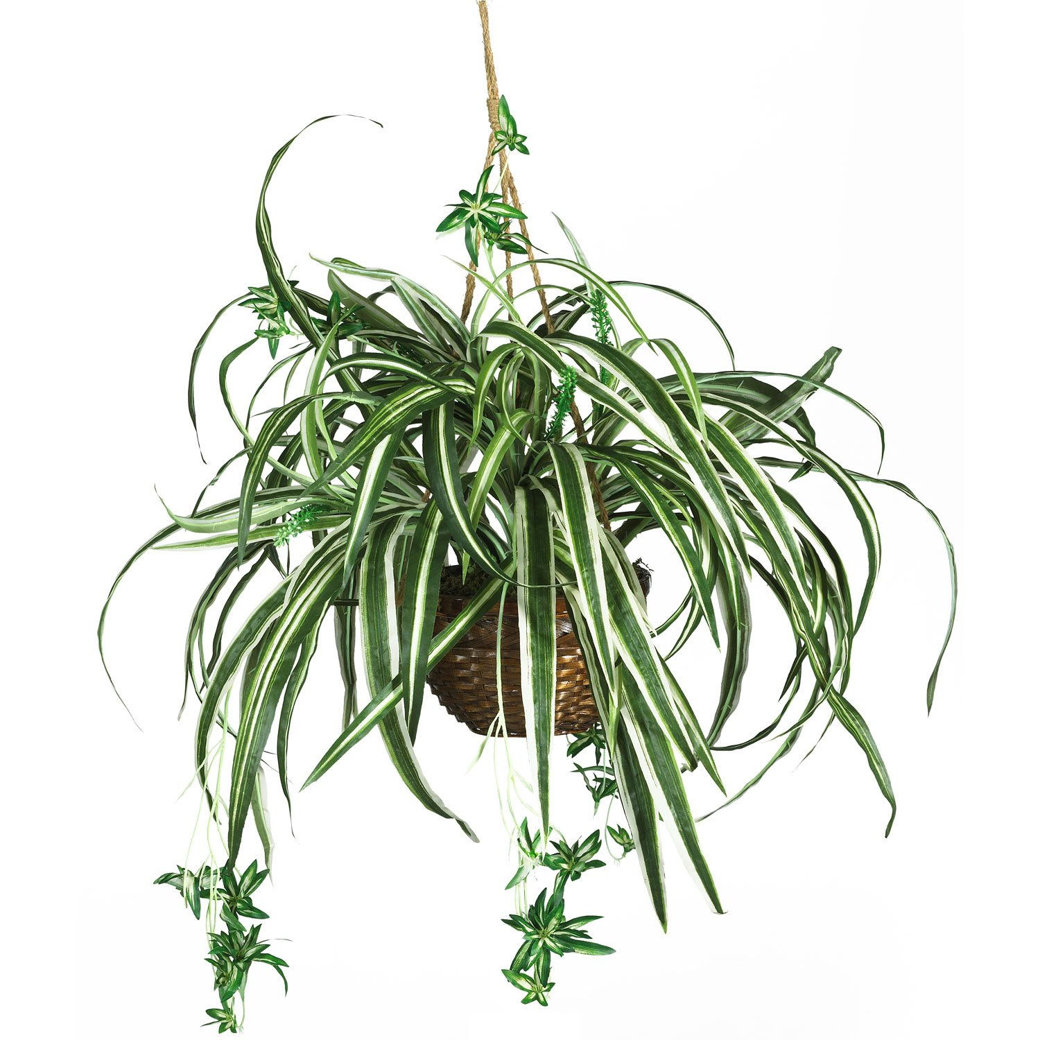 Figure 1: Hanging Spider Plant With Runners And Plantlets