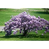 Blue Wisteria (Chinese)-Healthy Shrub/Vine/Tree - 3 each