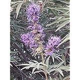 Chaste Berry Tree - Vitex Angus Castus- 75 Seed Pack Organic supplier_id_saintmarina_4131899806310