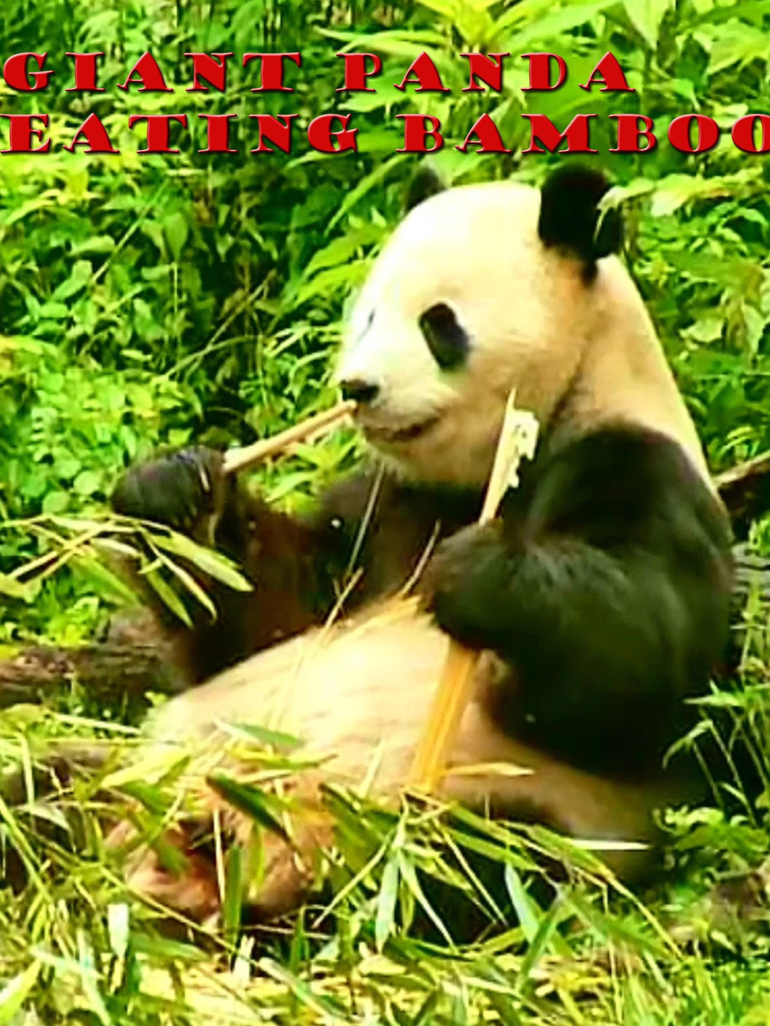 Clip: Giant Panda Eating Bamboo
