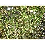 8 FLATTENED PIPEWORT PLANTS FOR FISH PONDS ( Eriocaulon compressum )