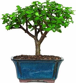 Brussel's Jade Bonsai Tree