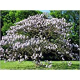 200 seeds Blue Paulownia Princess Tree ,Worlds Fastest Growing Tree
