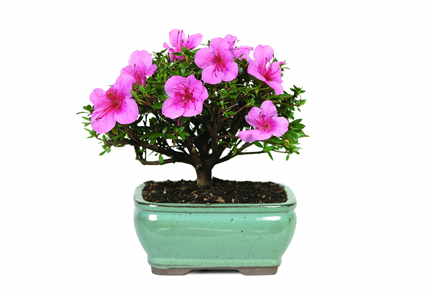 Flowering Plants - Azalea