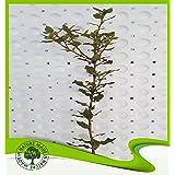 Quercus Ilex (Holly oak) - Plant