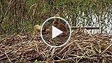 Baby Birds Play Fighting