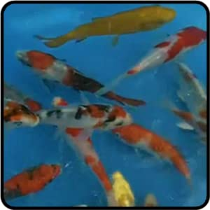 Touch koi fish appstore for android for Virtual koi fish pond