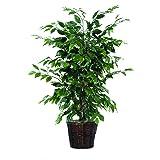 Vickerman AZTBU0140 Ficus Bush
