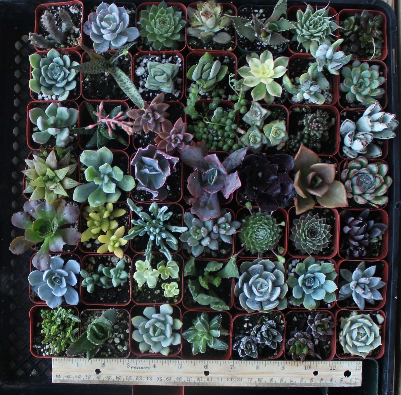 "20 Succulents in 2"" Pots"