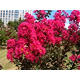 LARGE HOT PINK CRAPE MYRTLE, 2-4ft Tall When Shipped, Matures 8ft, 1 Tree, Bright HOT PINK Flowers, (Shipped Well Rooted in Pots with Soil) (Color: Bright Hot Pink, Tamaño: 3-4ft When Shipped)