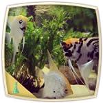 Angel Fish Aquarium : Relaxing Fish A...