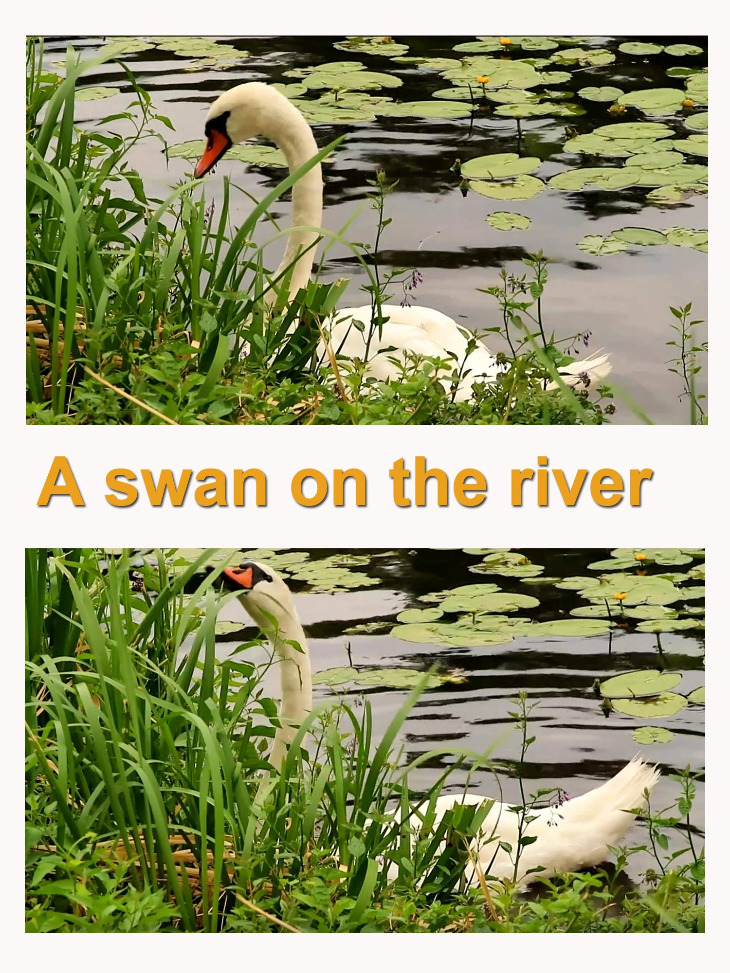 A swan on the river