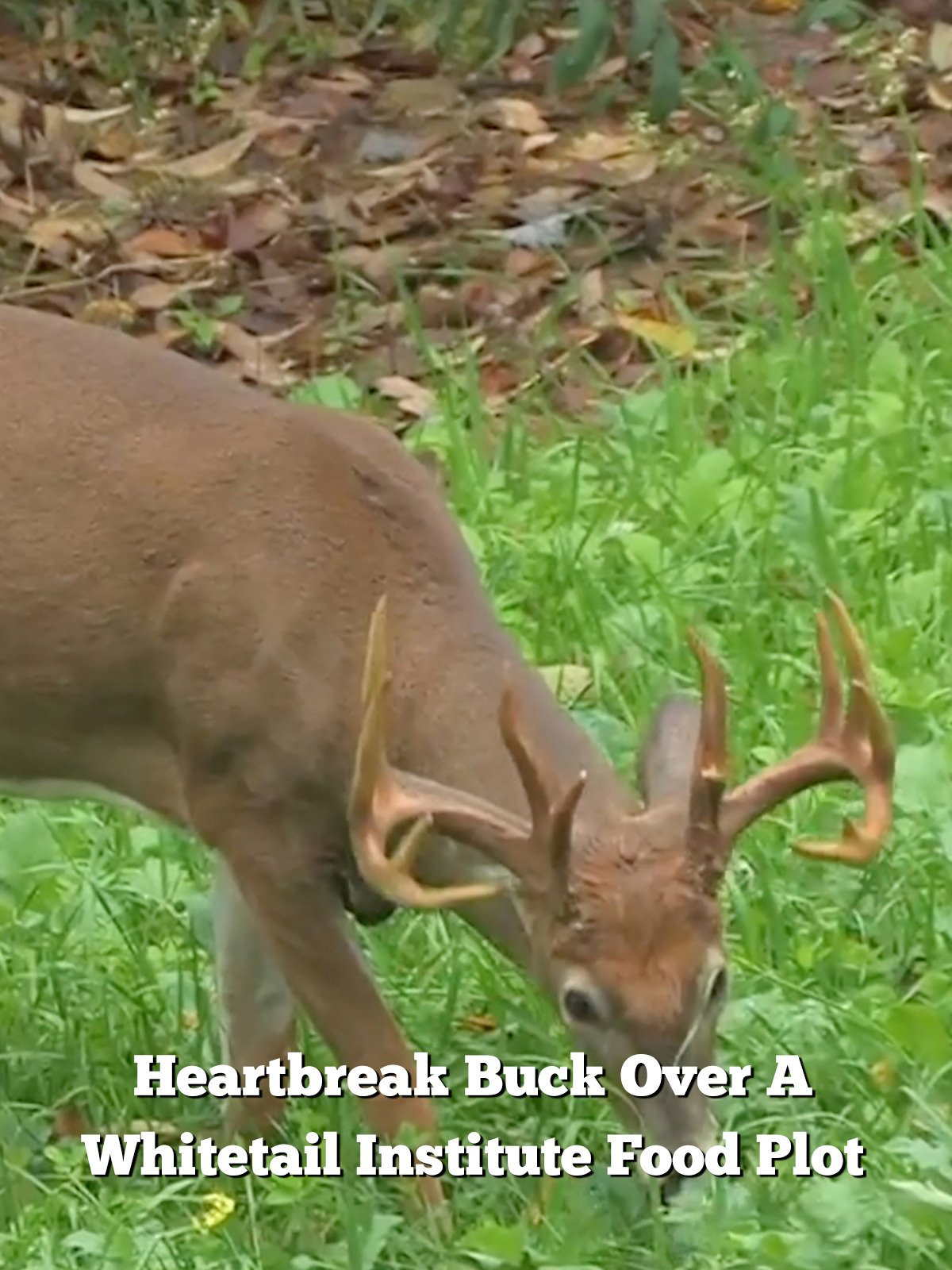 Heartbreak Buck Over A Whitetail Institute Food Plot