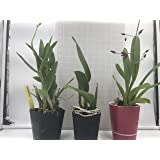 Sale - 3 Large Live Orchids Plants(Cattleya,Oncidium,Dendrobium)