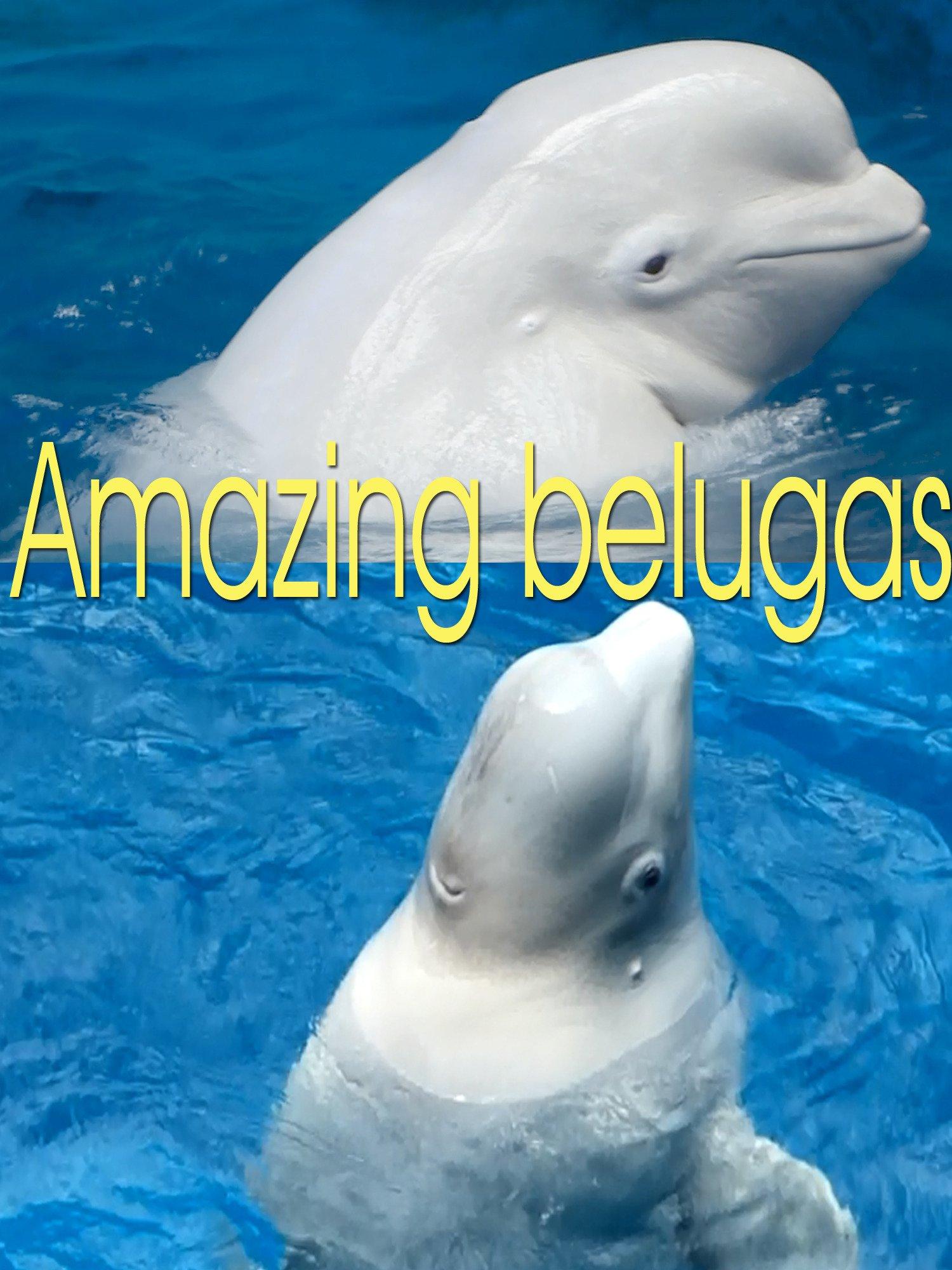 Amazing belugas