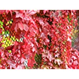 Red Boston Ivy
