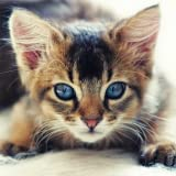 Guess The Kitten Breed - Free Trivia Game