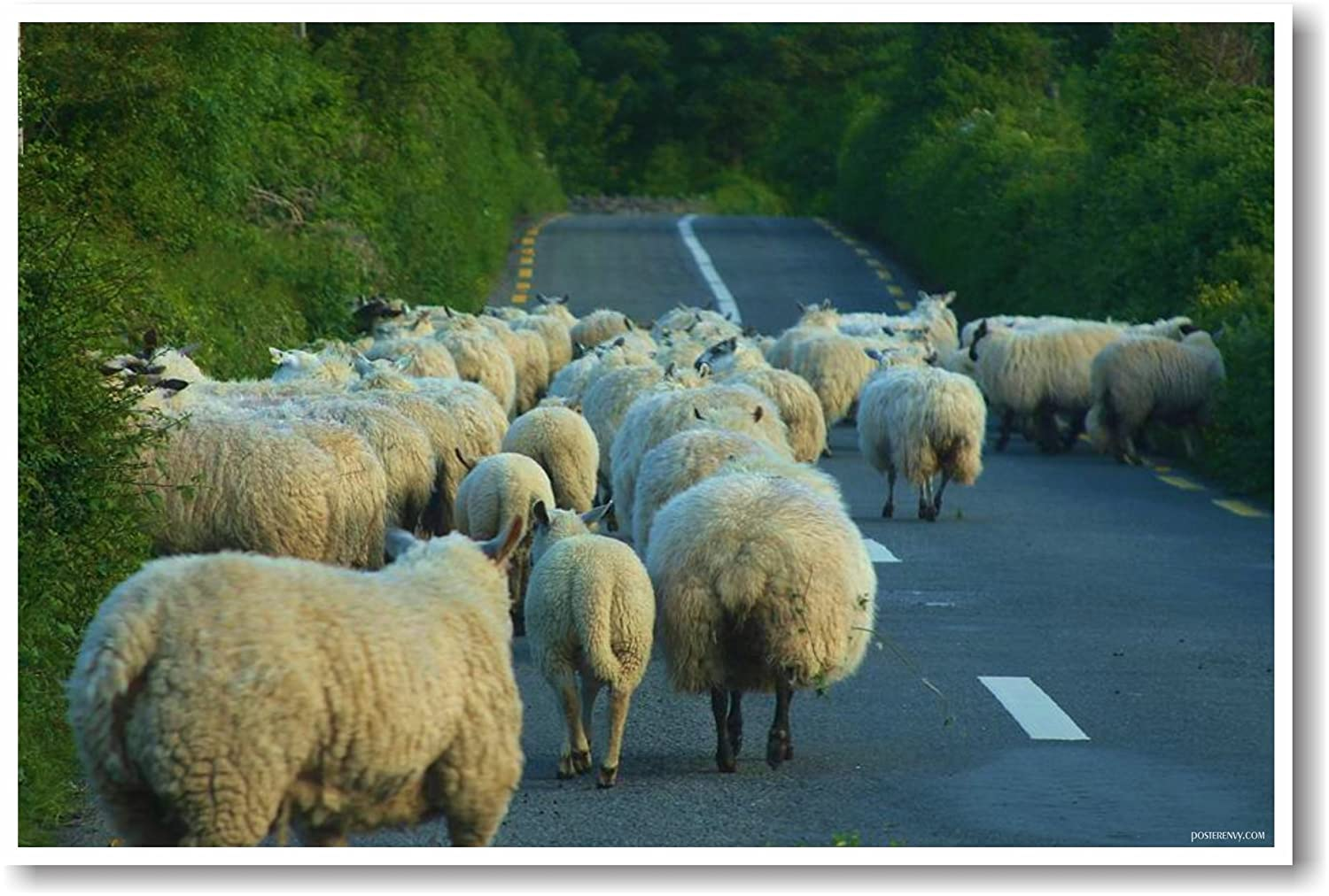 Sheep Crossing in Ireland