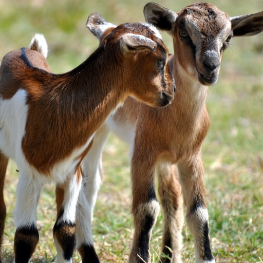 baby goat wallpaper hd wallpapers of baby