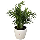 Costa Farms Parlor Palm, Neanthe Bella, Live Indoor Plant, Ships in 4-Inch White Décor Ceramic Planter, 12-Inches Tall, Fresh From Our Farm, Excellent Gift