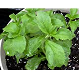 Clovers Garden Stevia Plant - Two (2) Live Plants - NON-GMO - Not Seeds - Each 4