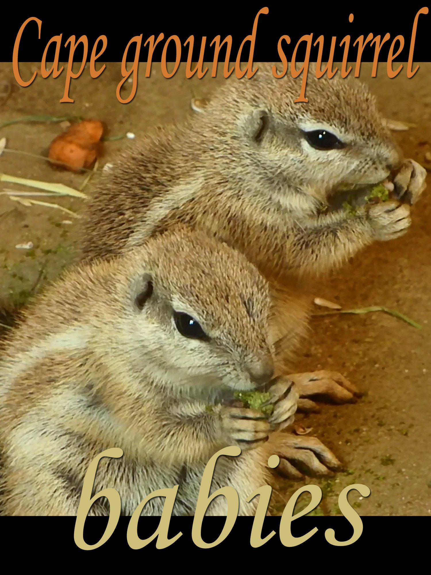 Cape ground squirrel. Babies