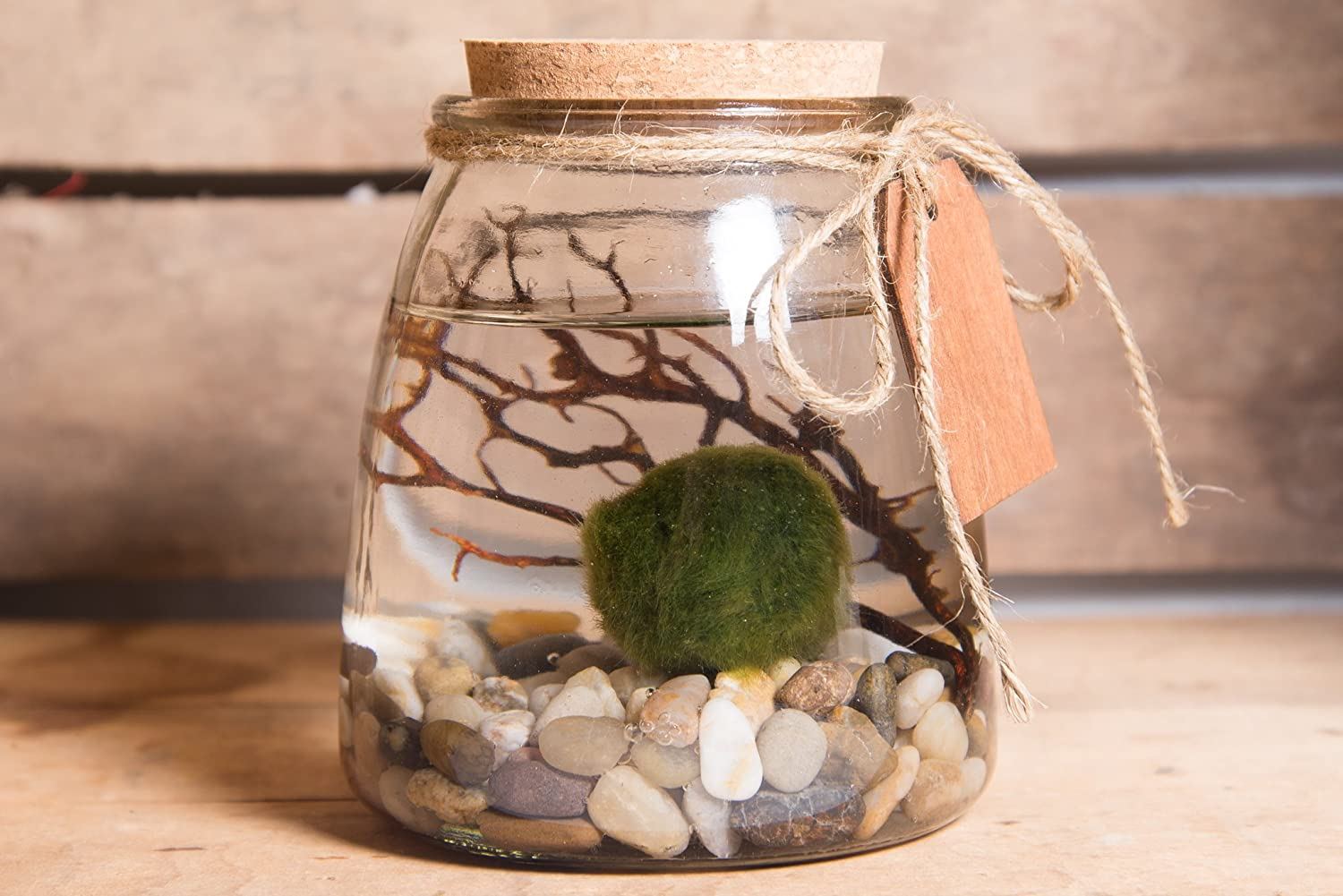 Marimo Moss Ball Planted Tank Marimo Moss Ball Plant Pet