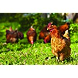 Southwest Transitional Poultry Pasture Blend (2000 sq ft) (Color: Eco Region, Tamaño: 2000 sq. ft.)
