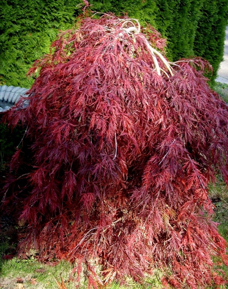 Red Dragon Maple Red Dragon Weeping Japanese