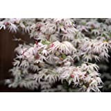 FLOATING CLOUD JAPANESE MAPLE Acer palmatum Ukigumo 3 - YEAR TREE