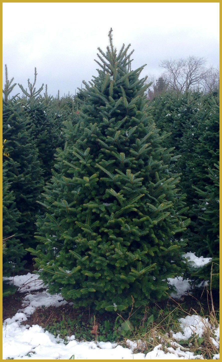 Fresh-Cut Fraser Fir Christmas Tree